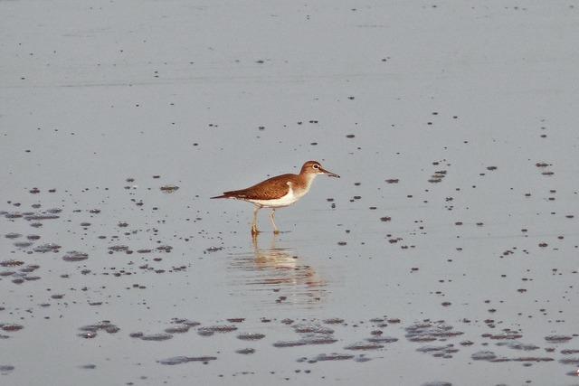 Common sandpiper bird beach, animals.