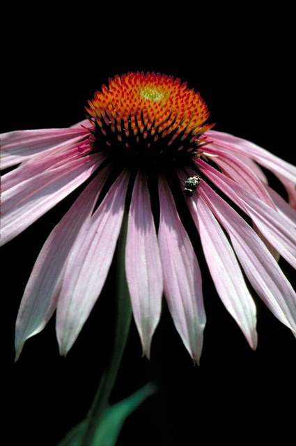 Coneflower macro blossom, nature landscapes.