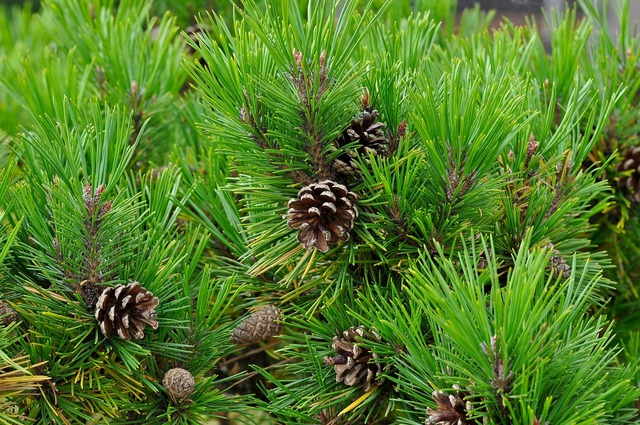 Conifer pine pine cones, nature landscapes.
