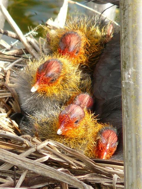 Coots chicks animal, animals.