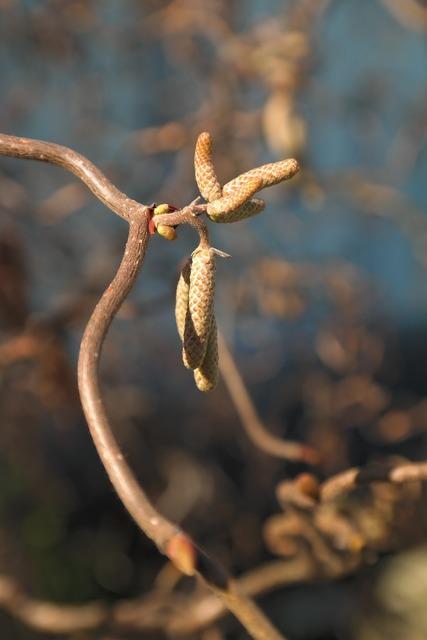 Corkscrew hazel c avellana contorta inflorescences, nature landscapes.
