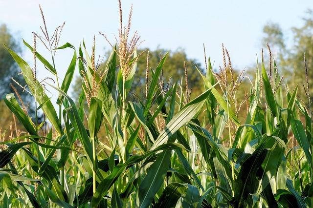 Corn cornfield plant, nature landscapes.