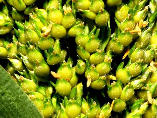Corn plant cereals, nature landscapes.