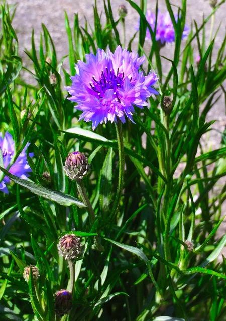 Cornflower purple flowers.
