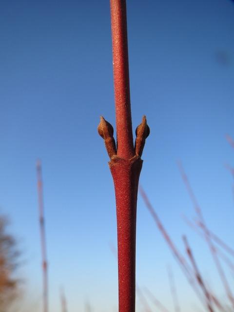 Cornus sanguinea common dogwood buds, nature landscapes.