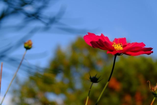 Cosmea blossom bloom.