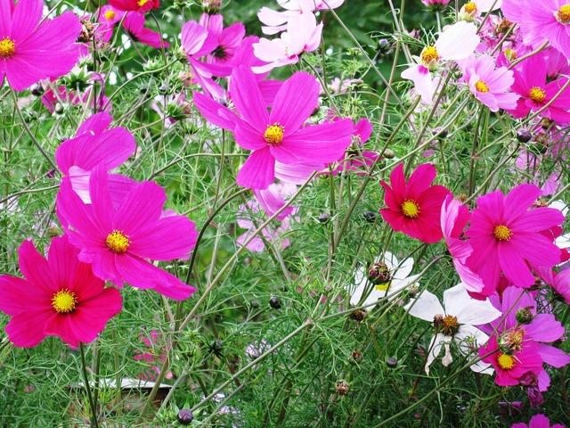 Cosmea flowers purple.