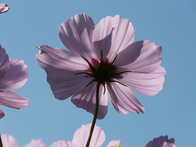 Cosmos blossom bloom.