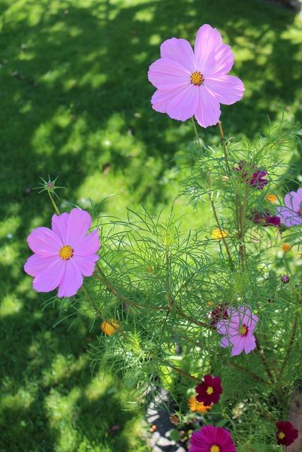 Cosmos flowers garden.