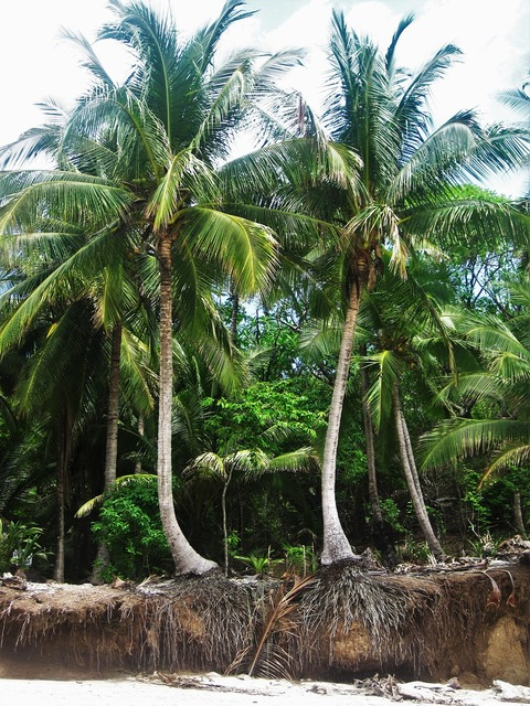 Costa rica root coconut trees, nature landscapes.
