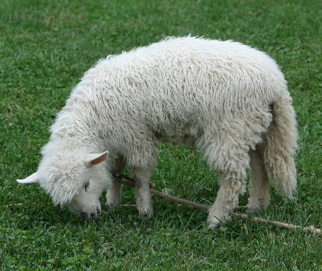 Cotswold sheep lamb pet, animals.