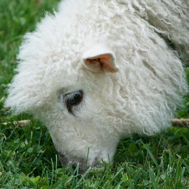 Cotswold sheep lamb wool, animals.