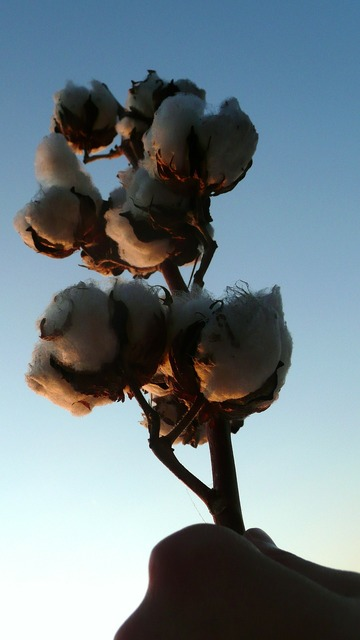 Cotton harvest agriculture, industry craft.