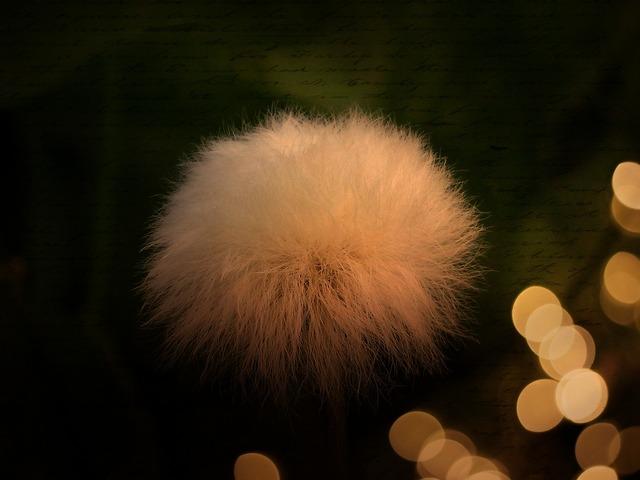 Cottongrass scheuchzer wollgras blossom, nature landscapes.