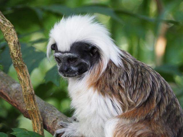 Cottontop tamarin monkey small.