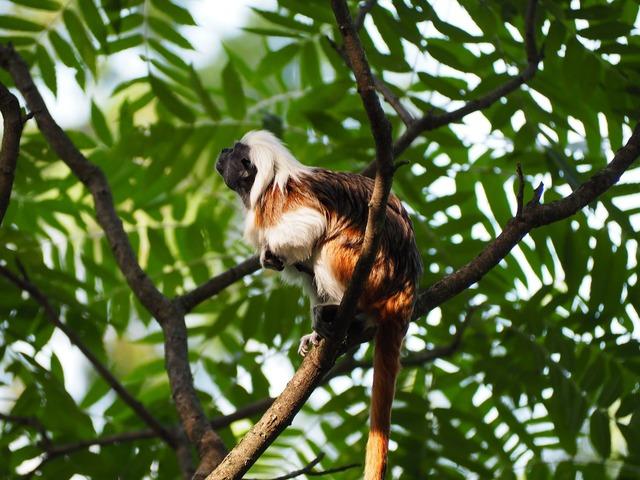 Cottontop tamarin small monkey.