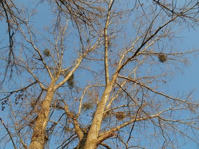 Cottonwood silz populus, science technology.