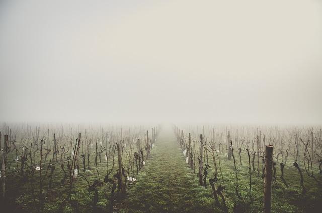 Country wine grape.