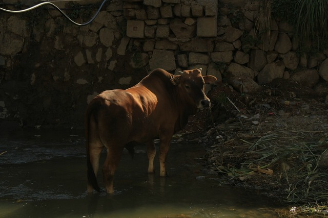 Cow animal farm, animals.