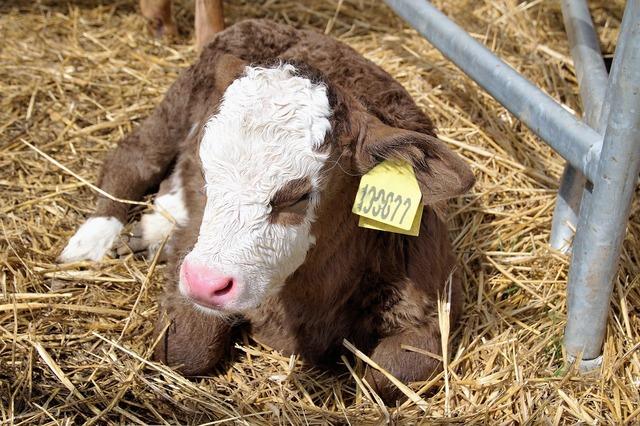 Cow calf pet, animals.