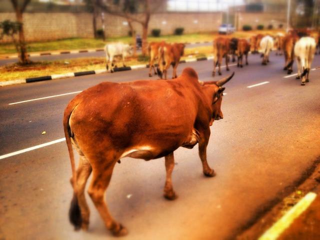 Cow cattle livestock, transportation traffic.