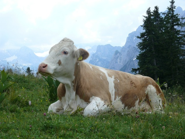 Cow cattle pasture, animals.