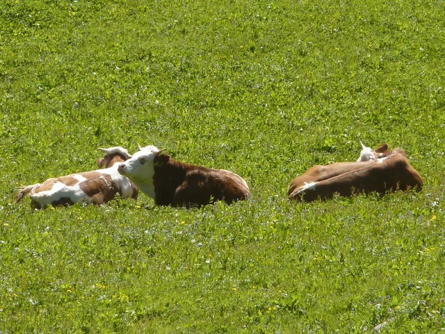 Cow cows pasture.