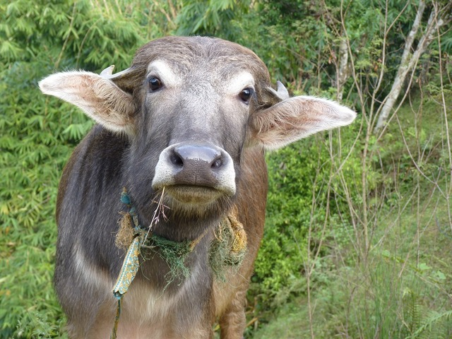 Cow nepal happy, emotions.