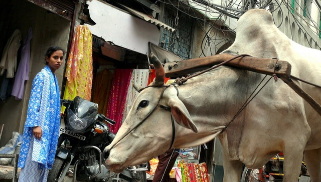 Cow new delhi india, industry craft.