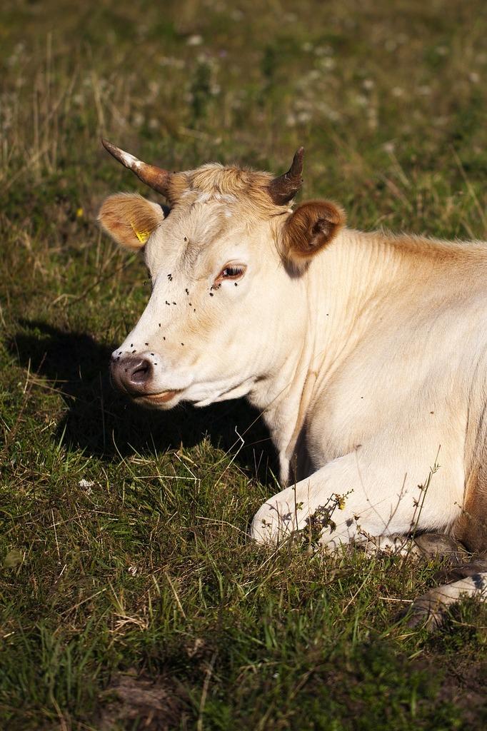 Cow pasture village, animals.
