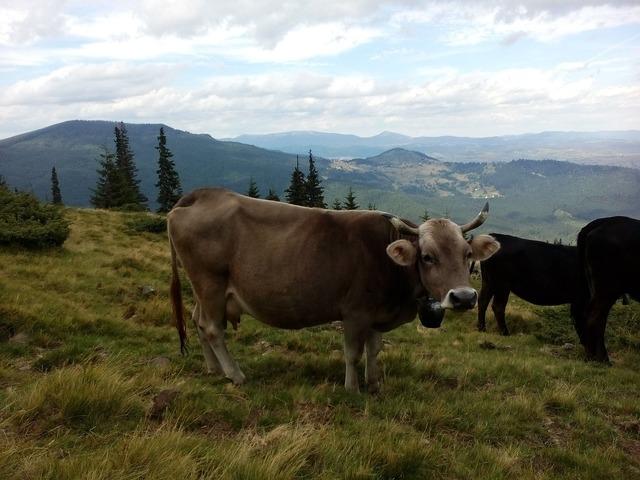 Cow the carpathians summer.