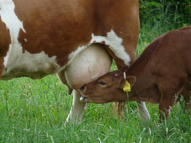 Cow udder suckle, food drink.