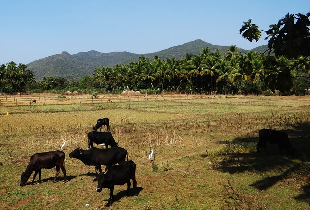 Cows cattle bovine.
