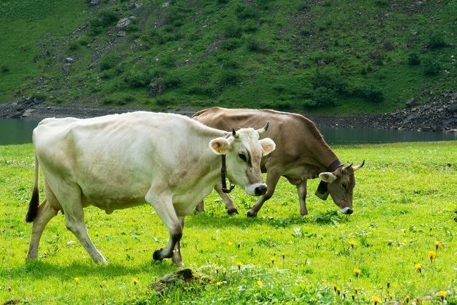 Cows pasture brown.