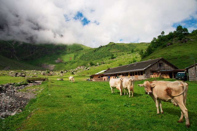 Cows switzerland canton of glarus, nature landscapes.