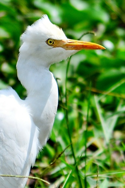 Crane white heron beak, animals.
