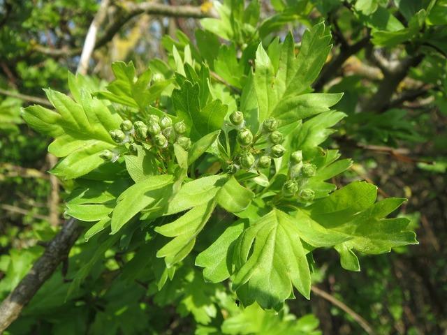 Crataegus monogyna common hawthorn single-seeded hawthorn, nature landscapes.