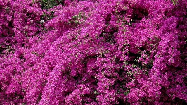 Creeper flowers bright.