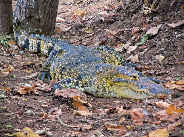 Crocodile caiman wild, animals.