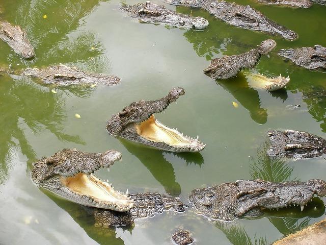 Crocodile mouth lunch.