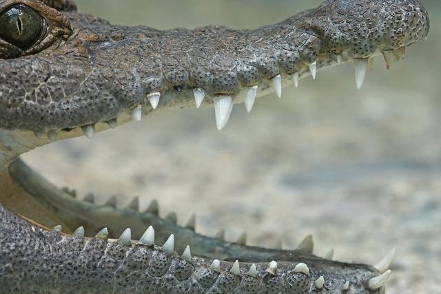 Crocodile philippines crocodile river.