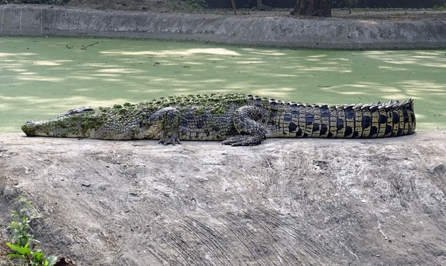Crocodile saltwater estuarine.