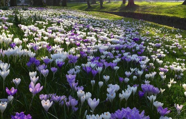 Crocus flowers purple.