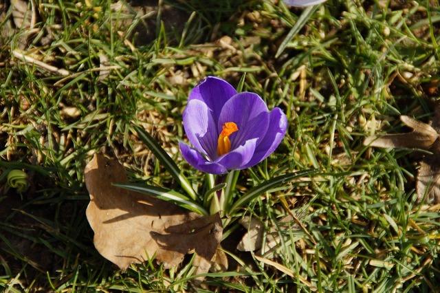 Crocus spring purple.