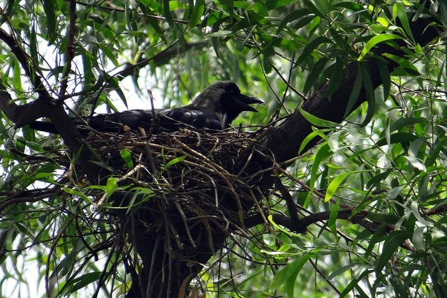 Crow bird indian house crow, animals.