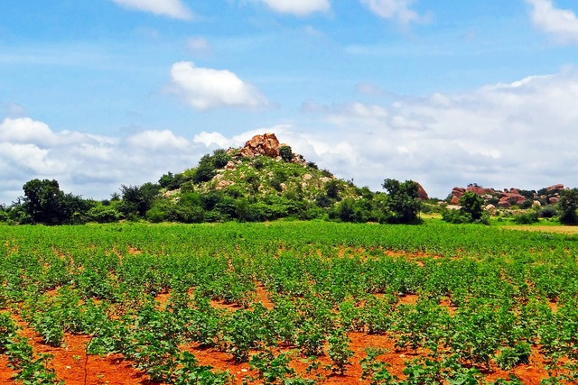 Cultivation cotton karnataka.