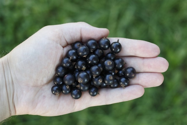Currant black hand, health medical.