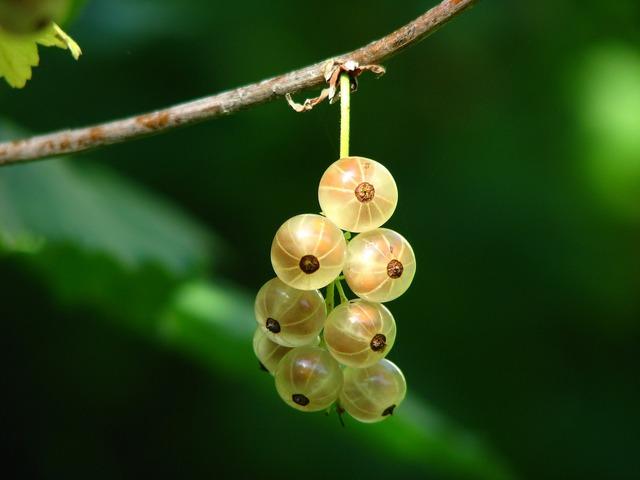 Currants berries immature, food drink.