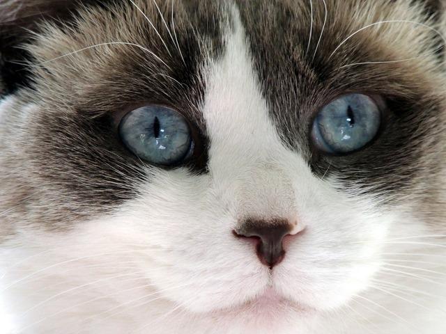 Cute cat ragdoll, animals.