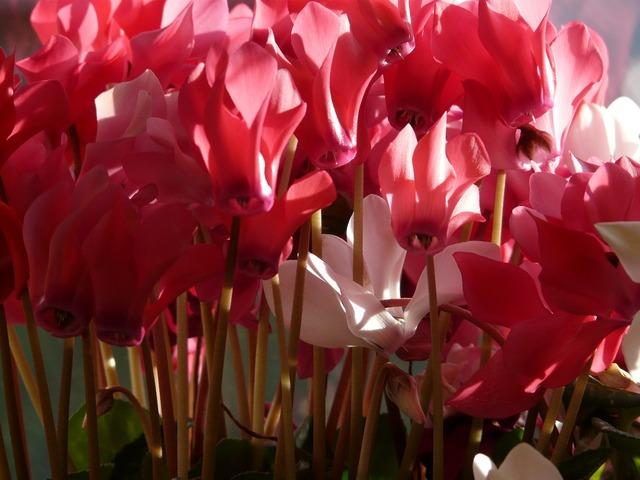 Cyclamen flower pink.
